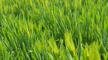 Orzul verde – beneficii și recomandări